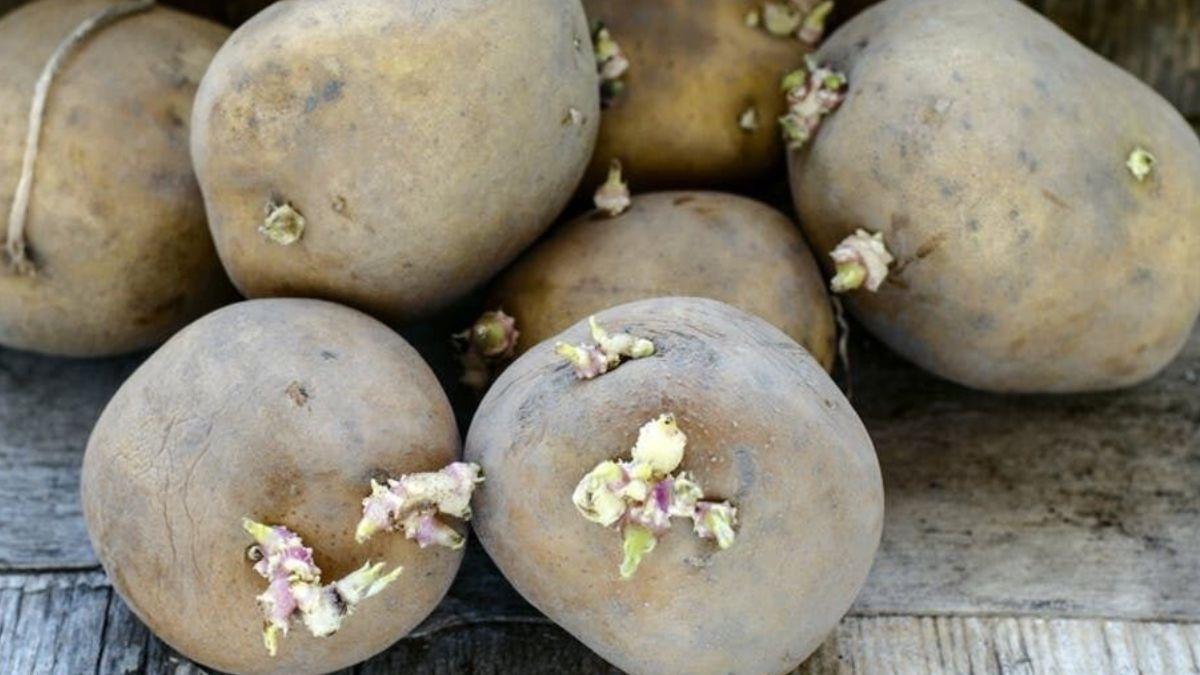 Patatas con brotes