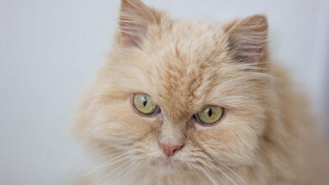 Cómo limpiar los oídos y los ojos de los gatos