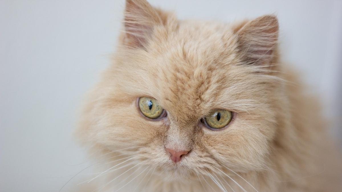 Pasos para limpiar los oídos y los ojos de los gatos