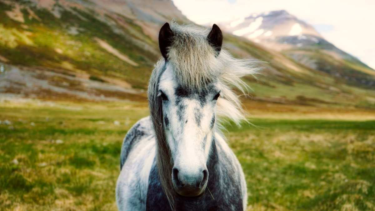 Curiosidades sobre el caballo fiordo