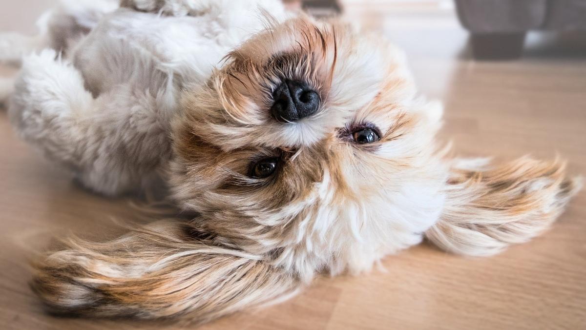 Por qué tu perro te da la pata realmente