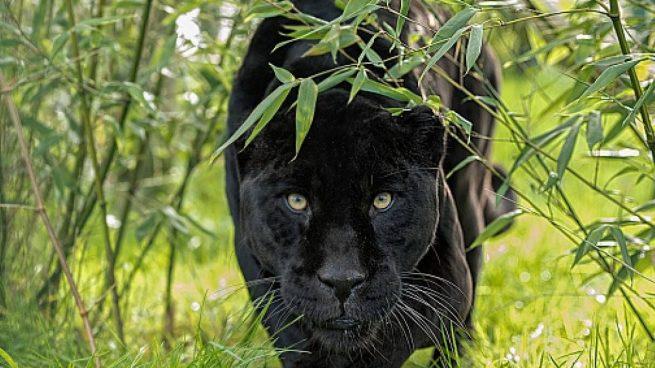Toman una fotografía de la pantera negra que se busca en Ventas de Huelma (Granada)