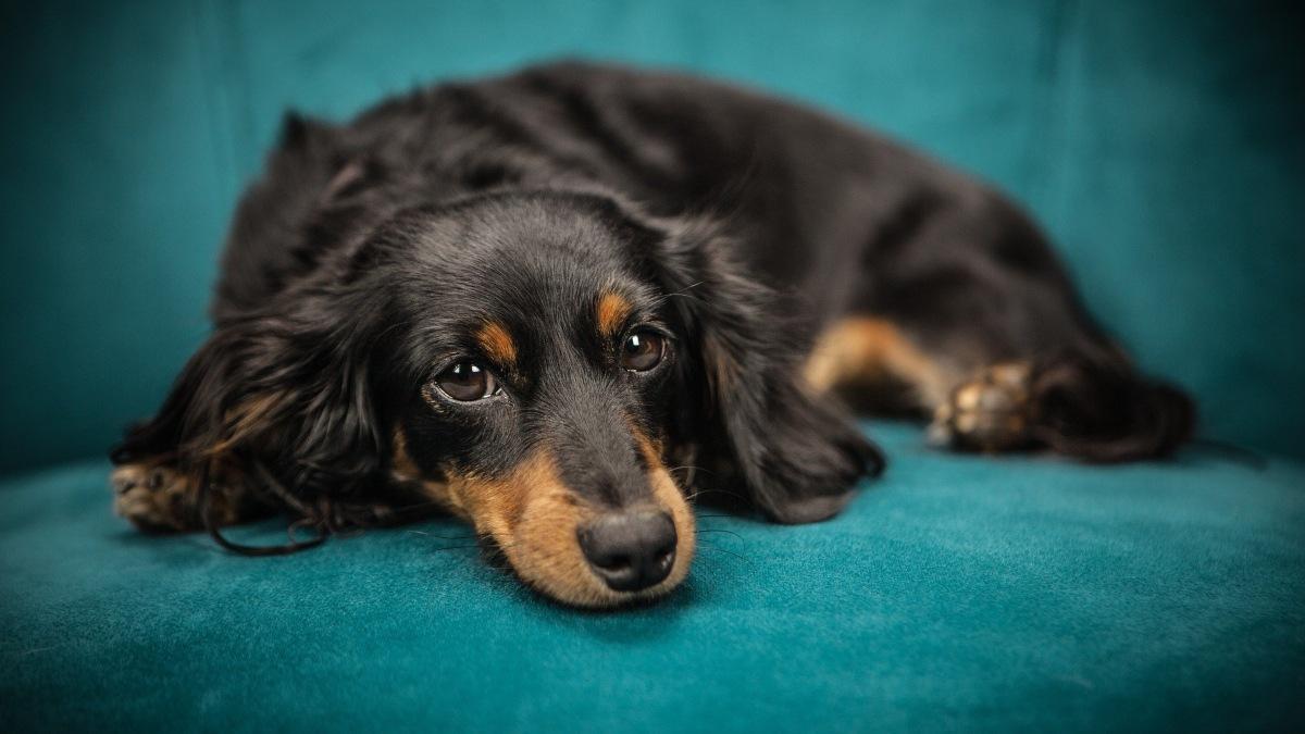 Pasos para saber si tu perra tiene un embarazo psicológico