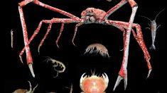 Aumenta la llegada de especies exóticas de crustáceos al golfo de Cádiz