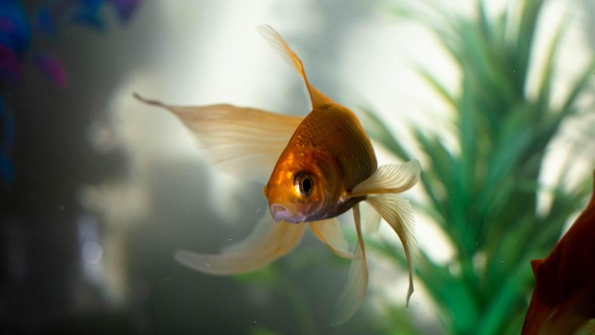 Alimentación de peces de tu acuario