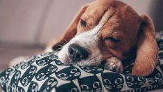 Qué es la Intoxicación alimentaria en tu perro