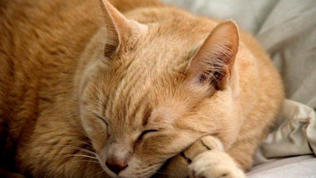 Gato, intoxicación