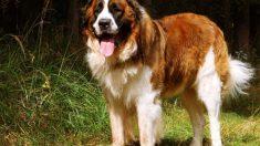 Características de perros rusos