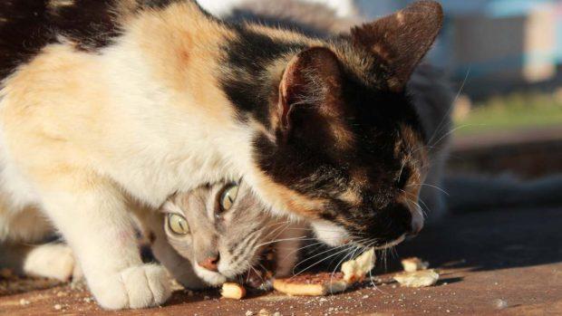 Gato come dulce