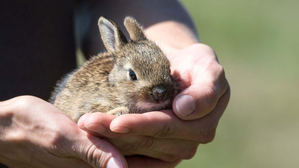 Tener un conejo encima