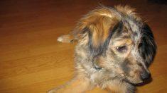 Cómo tratar la menopausia en las perras