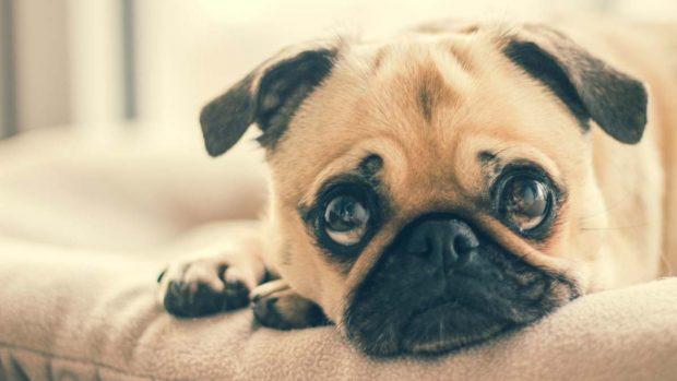 Enfermedades páncreas en animales