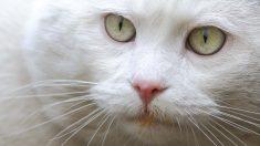 ¿Cómo son los gatos blancos?