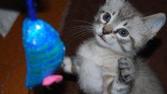 Juegos de gato en casa