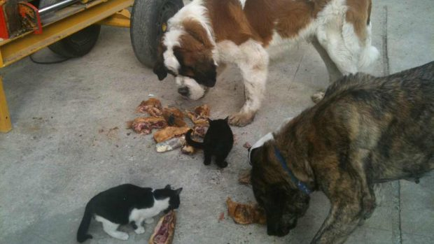 Carne cruda perros