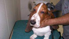Uso del secador con tu mascota