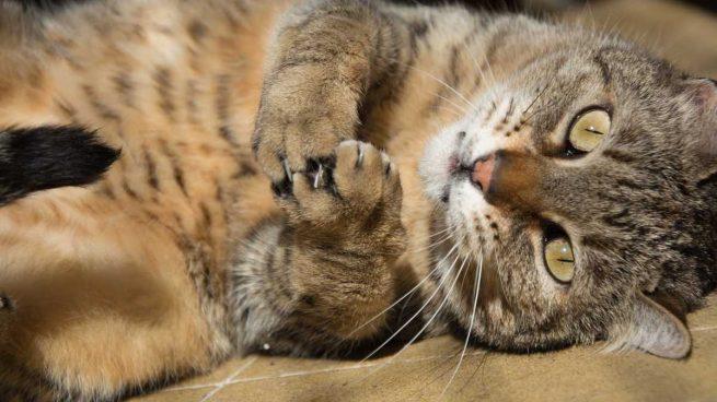 Lesión cola gato