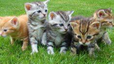 Análisis de los gatos de Pottenger