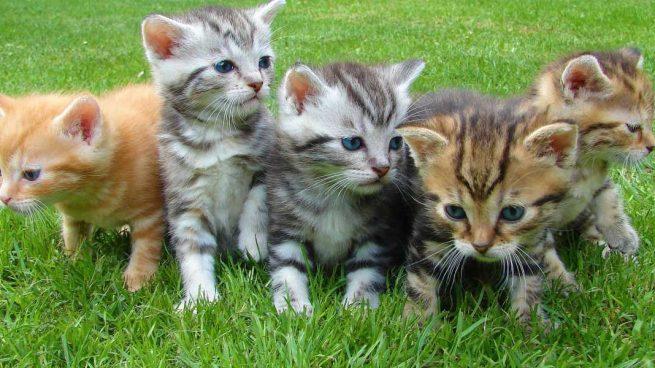 Gatos de Pottenger: