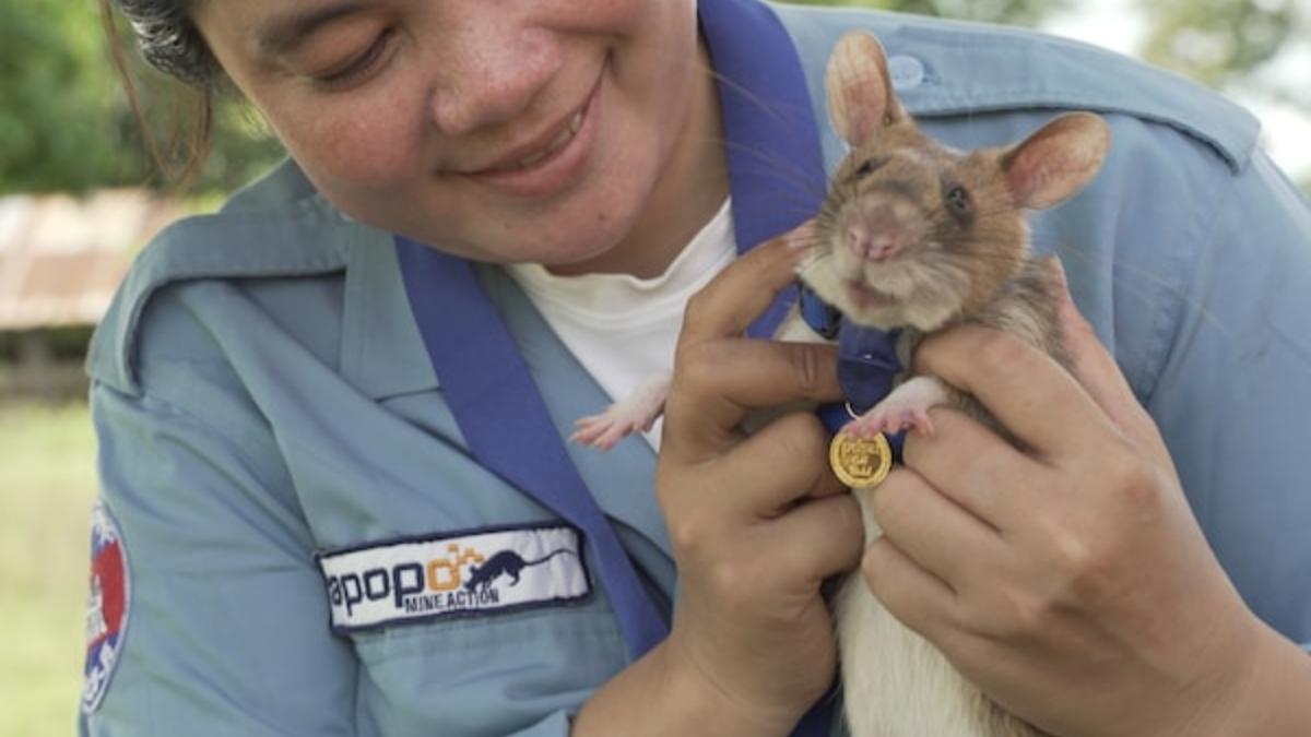 Twitter: Una rata recibe la medalla al mérito por su trabajo en la detección de bombas