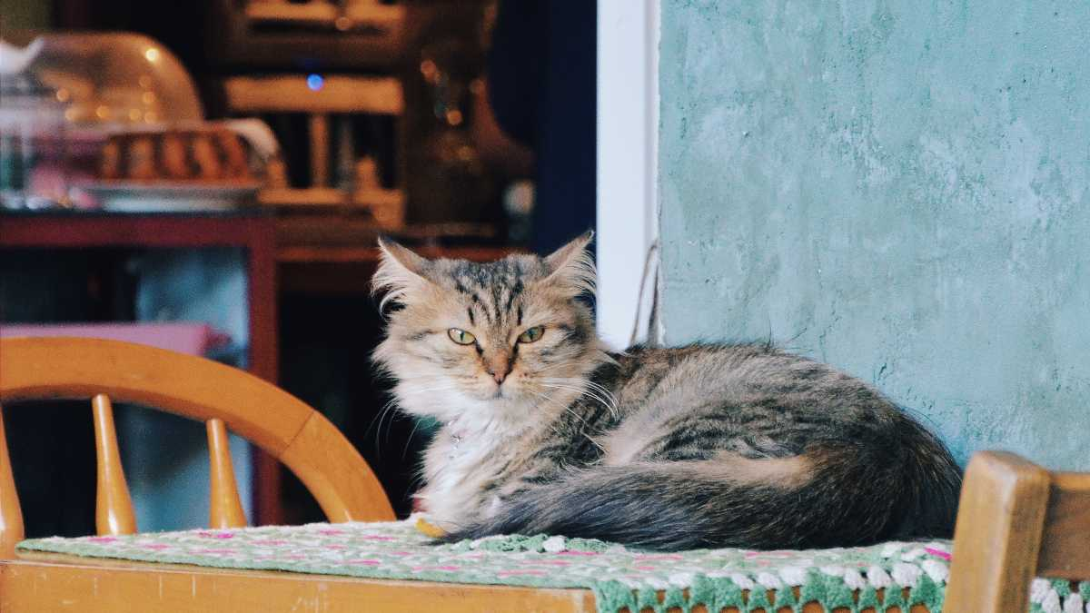 Gato posesivo en casa