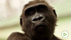 Una cuidadora del zoo de Madrid herida de gravedad al ser atacada por un gorila