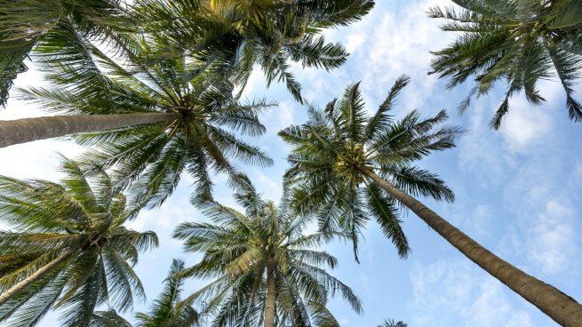 Twitter: Un hombre es catapultado al cortar la copa de una palmera