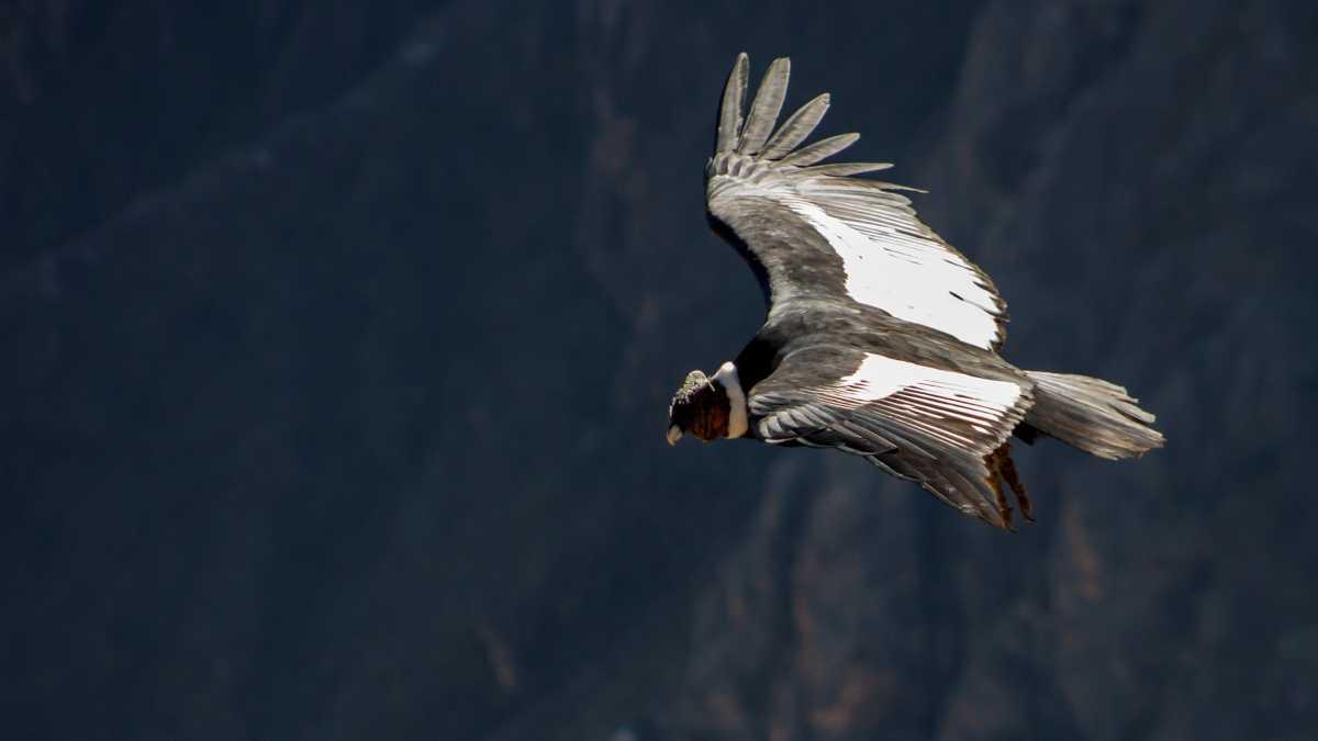 El vuelo más alto de las aves