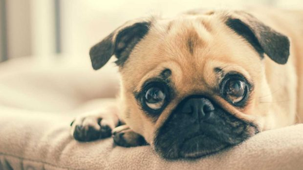 Emociones en perros