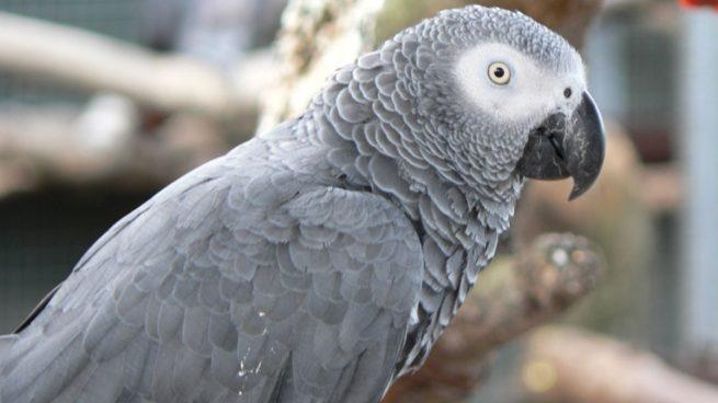 Twitter: Cinco loros grises africanos aislados de un zoo por insultar a los turistas