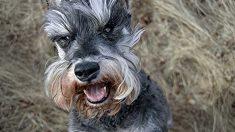 Perros curiosos de color gris
