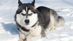 Perros de la nieve