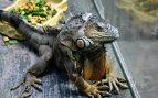Alimentación iguana