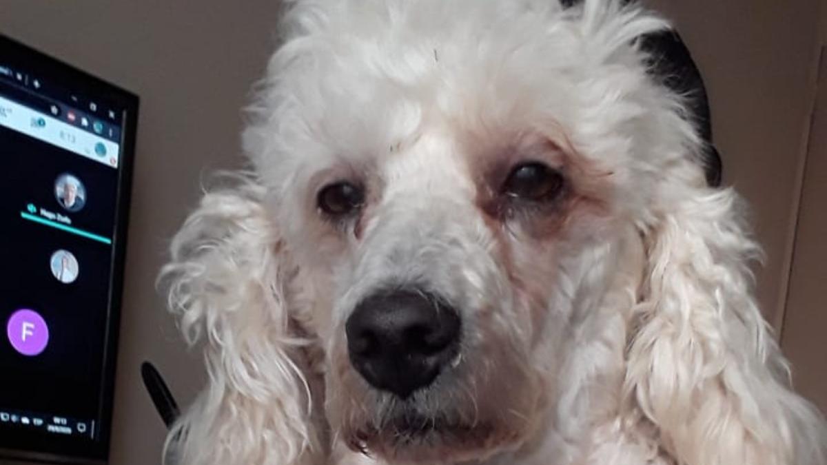 Twitter: Bonzo es un perro que padece insomnio por acompañar a su dueña