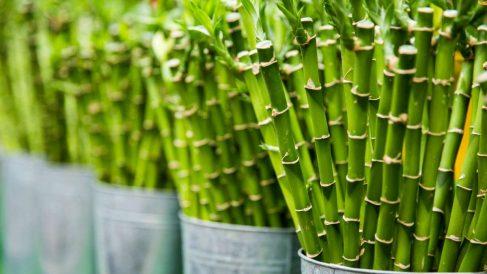 El bambú es una de las plantas de interior más bonitas