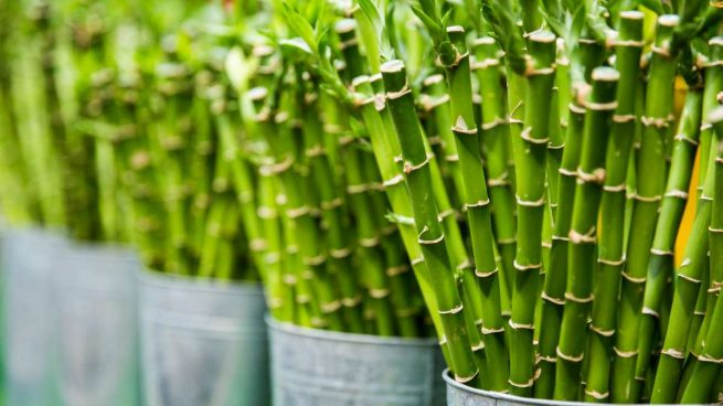 cuidar un bambú de la suerte