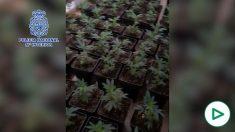 Halladas 300 plantas de marihuana en una casa de Málaga