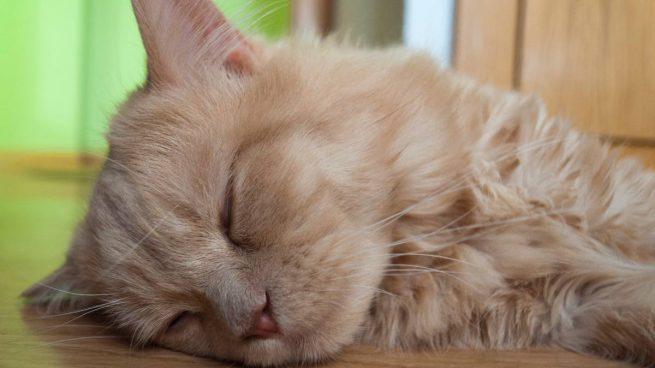 Gato con náuseas