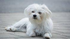 Riesgos de la suelta de pelo en perro