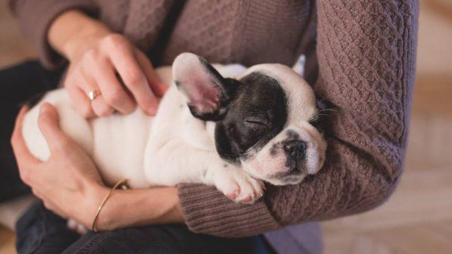 Perro con abdomen hinchado