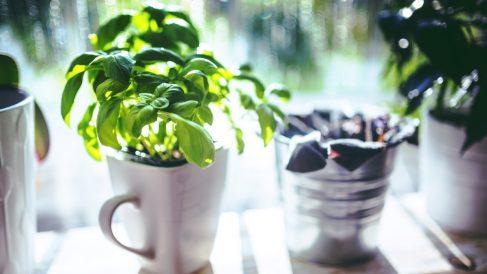 Pasos para cultivar correctamente albahaca en casa paso a paso