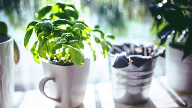 Cómo cultivar correctamente albahaca en casa paso a paso