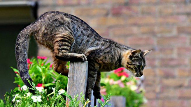 Cola del gato