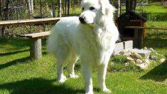 Cómo es el perro de montaña pirenaico
