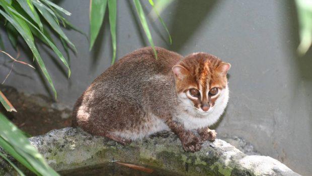 Razas y subrazas de gatos