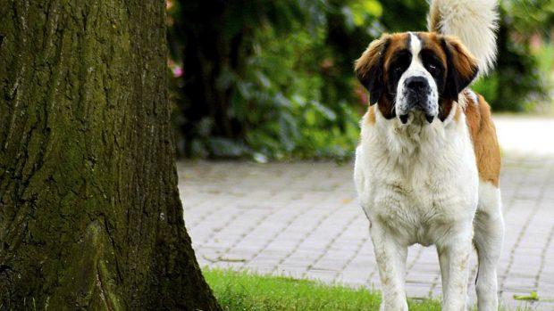 El perro san Bernardo