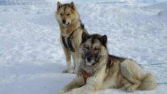 Razas de perros: de Groenlandia