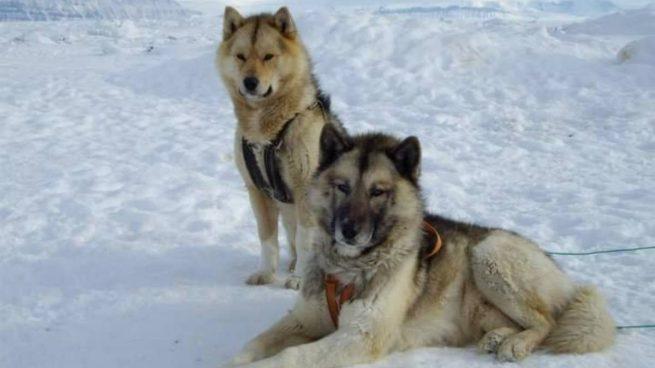 Perros de Groenlandia