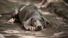 ¿Cómo es el perro weimaraner?