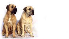 Raza de perro mastín